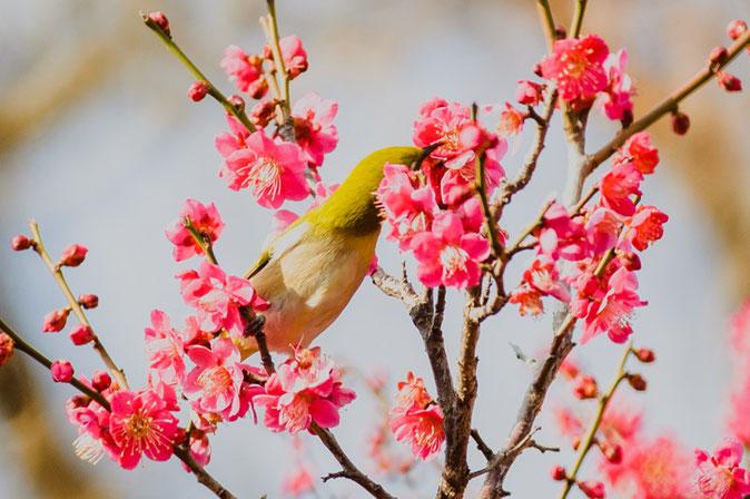メジロは梅の蜜に夢中の様子です
