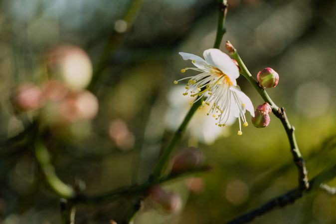 枝の先に白い梅の花が咲きました
