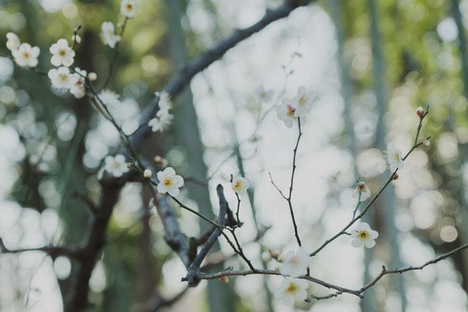 花を咲かせる白梅。竹林を背景に