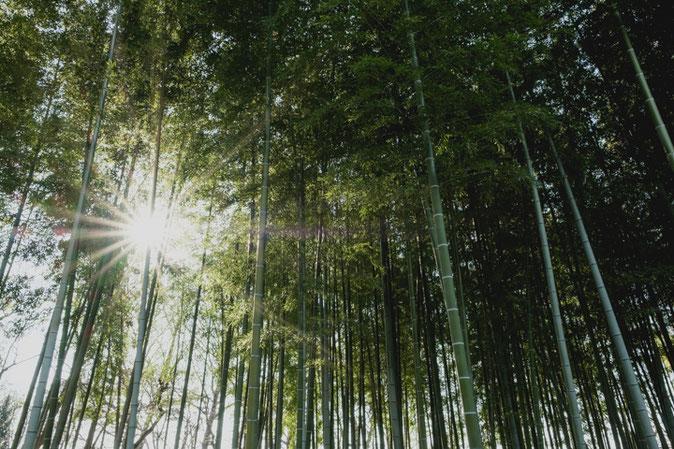 風通しよく、日差しも地上に降り注ぐ竹林