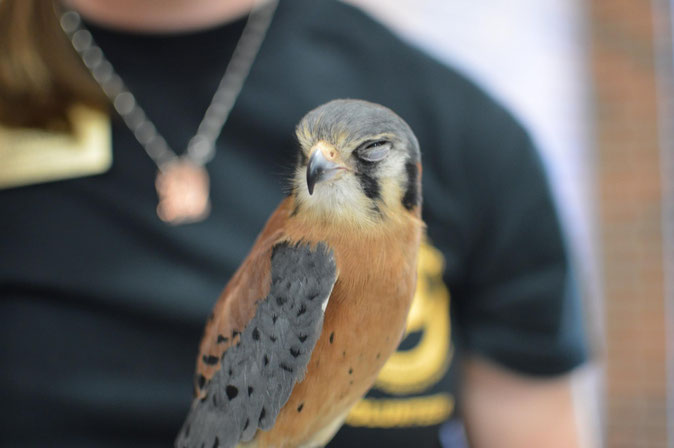 Hephaestus the Grumpy Kestrel, Guardian of the Archives, Education Bird with MU Raptor Rehabilitation