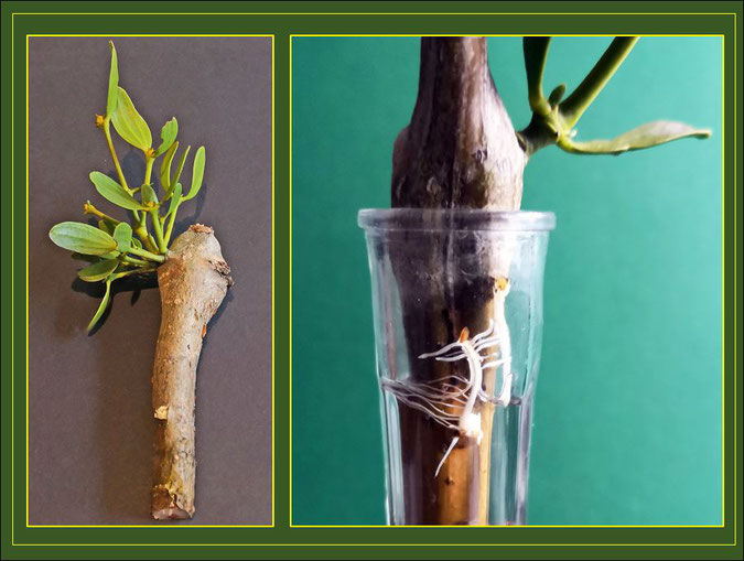 Mit Misteln besetzte Pappelzweige, Wurzelbildung am Pappelast in Versuchsanordnung. Die Verdickungen zeigen die rege Wurzelrindentätigkeit.