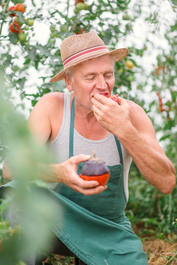 Ein älterer Mann. Ein Gärtner der Tomaten an pflanzt und gerade in seinem Gewächshaus herzhaft in eine Tomate beißt.