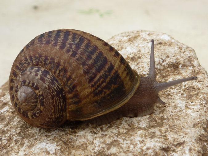 L'escargot d'élevage : le Gros Gris, Hélix Aspersa Maxima