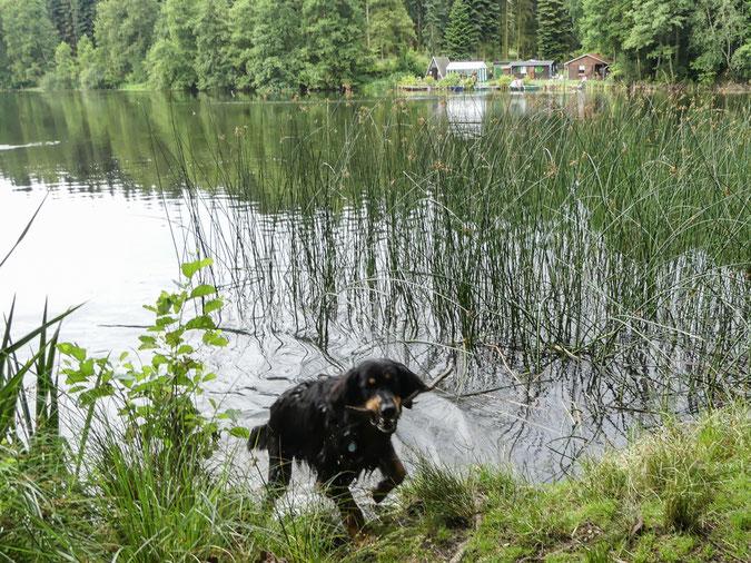 Leon mit Stöckchen aus dem See kommend