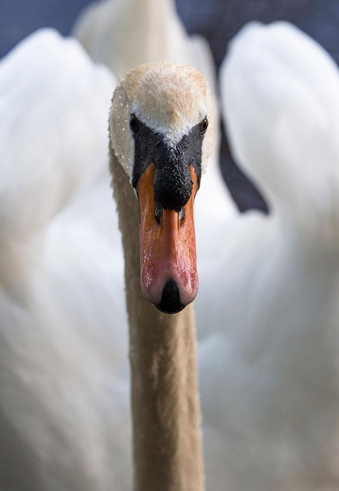 Swan Portrait, Lake, Ried, Frankfurt, Rhine-Main, Hessen, Germany, 1256x1820px