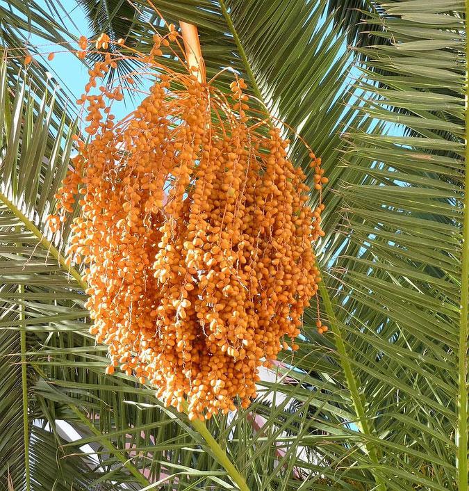 Fioritura della palma da dattero