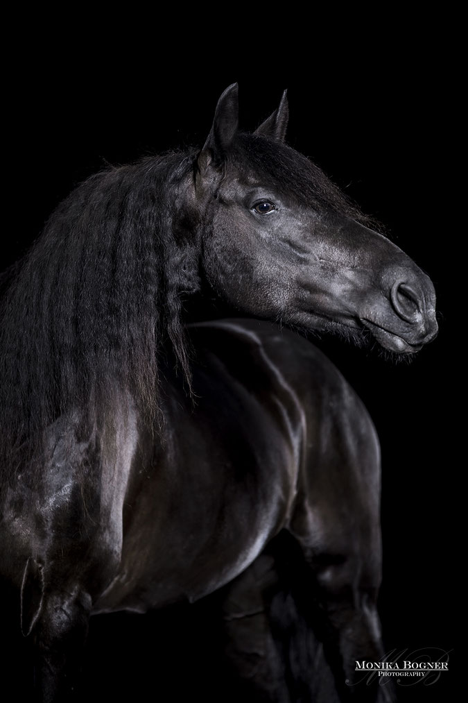 Pferde im Studio, Pferde vor schwarzem Hintergrund, Pferdefotografie, Friese, Rappe