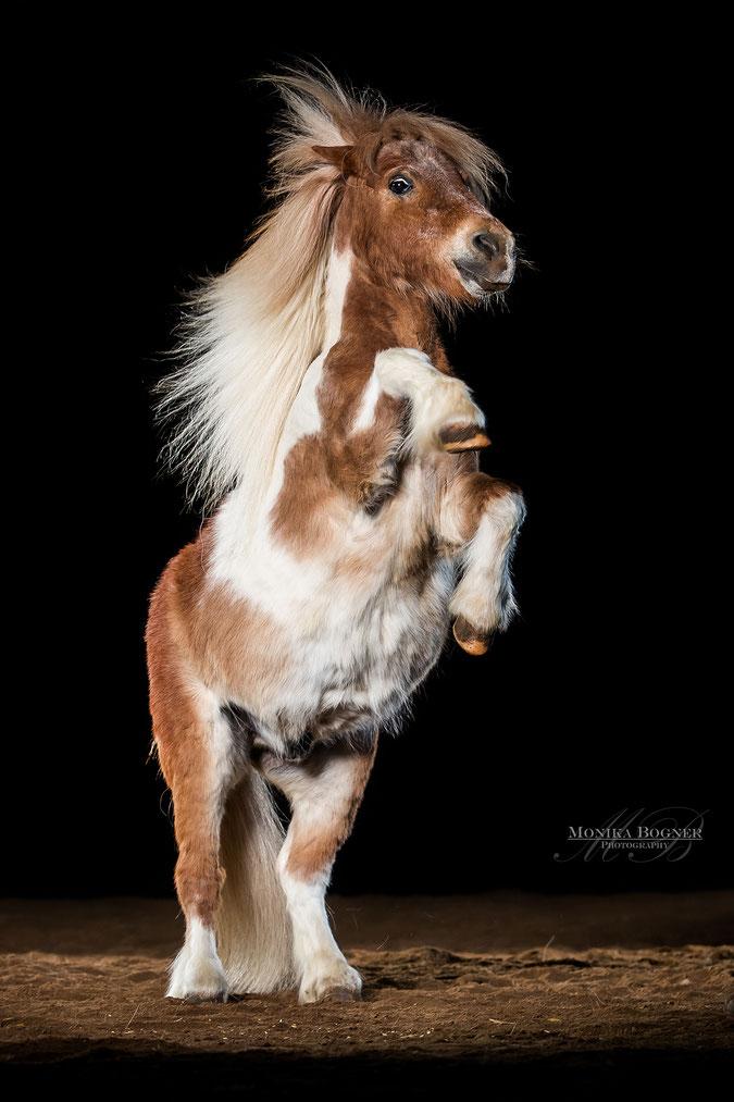 Pferde im Studio, Pferde vor schwarzem Hintergrund, Pferdefotografie, Pony beim Steigen