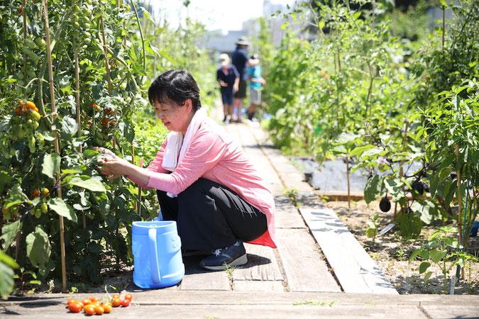 ミニトマトも房になるとかなりの重さ photo by Wataru Goto