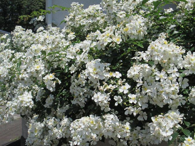 諏訪市から来たロサ・ムリガニー、全長12メートルにわたり咲いています。