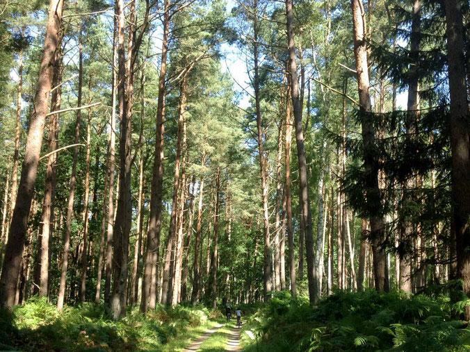 Der Darßer Wald ist perfekt zum Radfahren