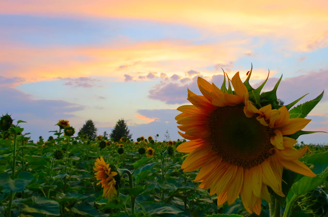 Sonnenblumen Sonnenblumenfeld Neustrelitz Urlaub in MV