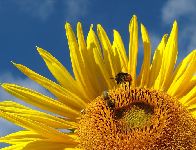 Sonnenblume Hummel blauer Himmel MV