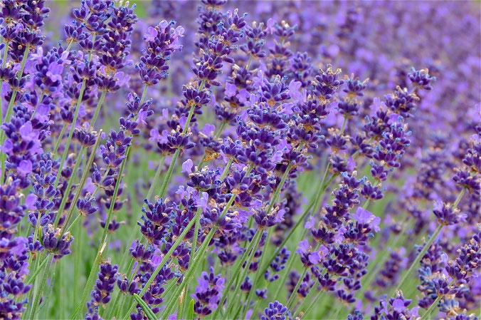 Lavendel Sommer Urlaub Mecklenburg Ferienhaus