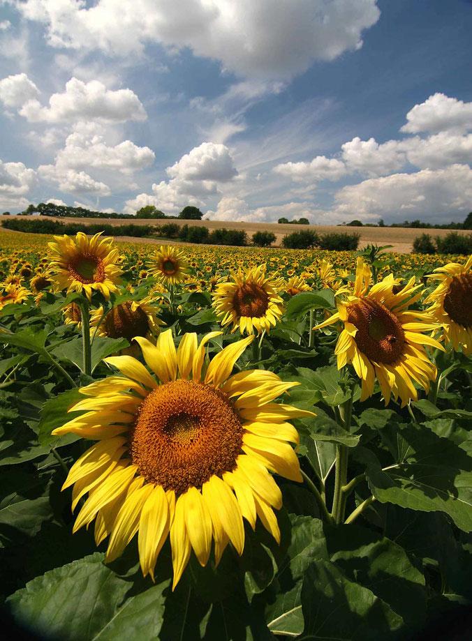 Sunflower field in Hessen with summer sky in the back, Wetterau, Hessen, Germany, Europe