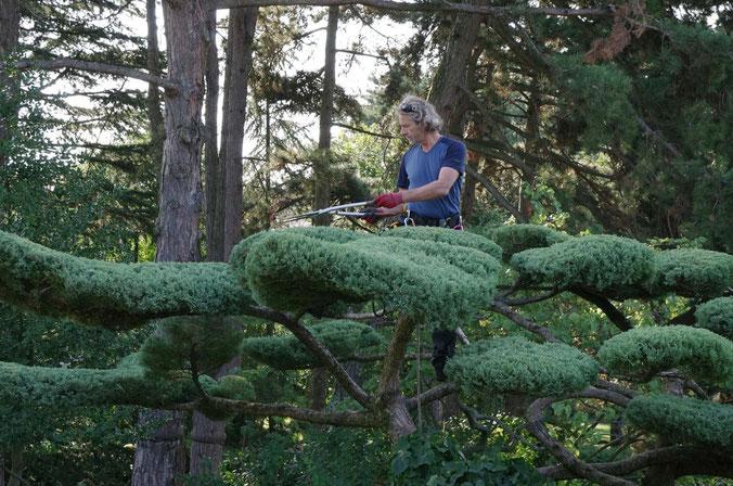 Sylva Jardins Paysages - Taille de mise en forme sur Juniperus conduit en nuages