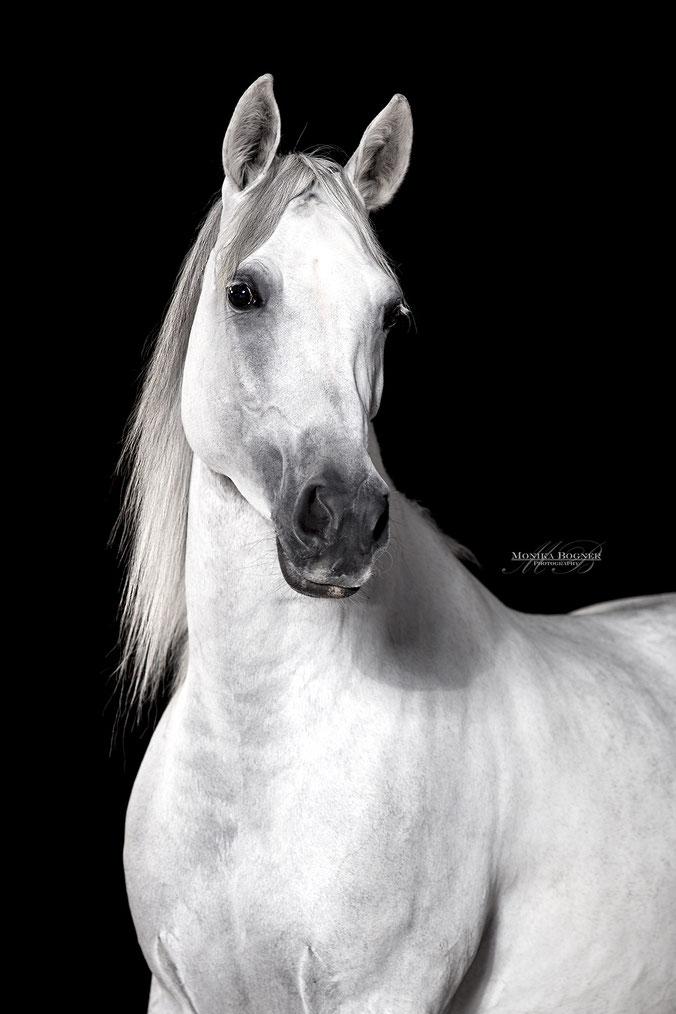 Pferde im Studio, Pferde vor schwarzem Hintergrund, Pferdefotografie, Araber, Schimmel