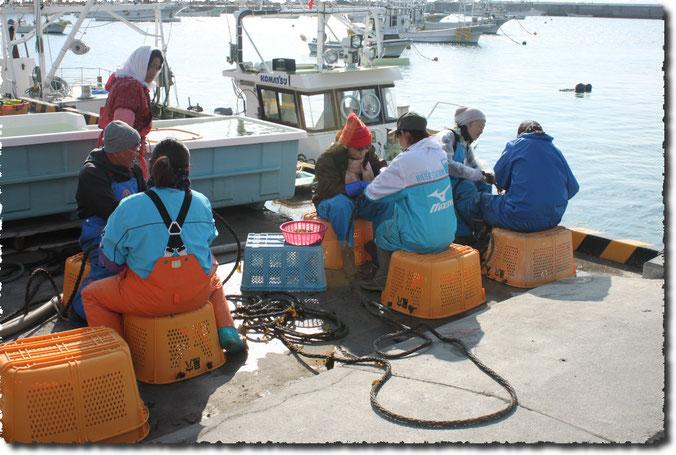 泊漁港でのワカメ種挟み作業