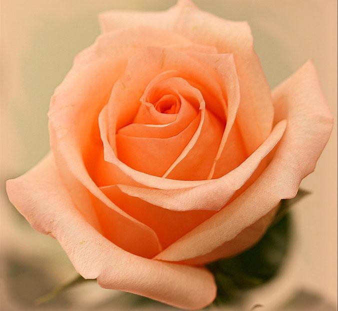 роза эльдорадо фото описание