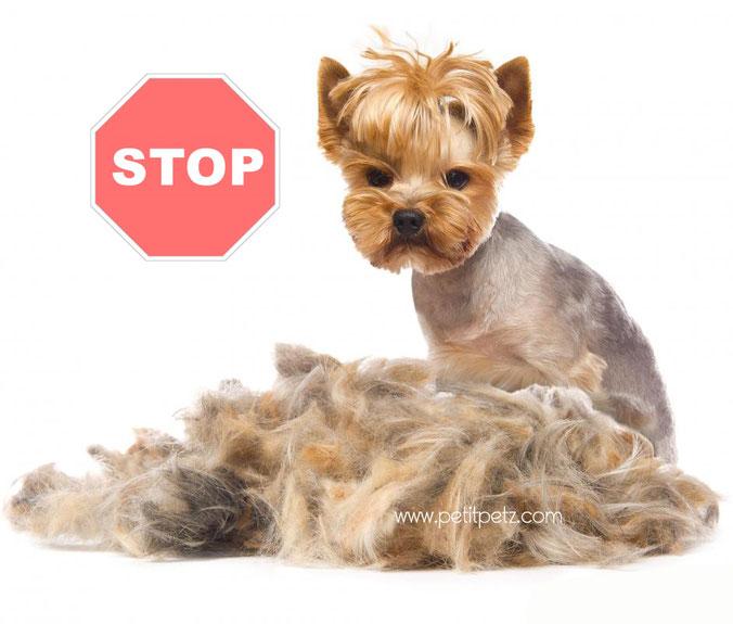 ropa para chihuahuas, vestidos para perritas, collares para chihuahuas, orejas yorkshire terrier, kiwoko, boutique canina, cortar pelo yorsay
