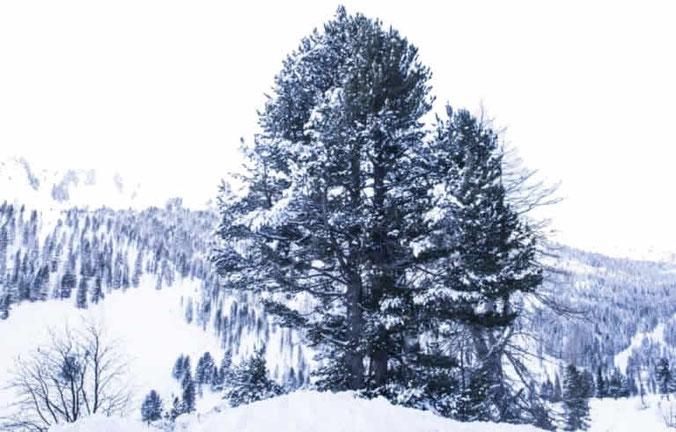 Zirbenholz, Eigenschaft und Wirkung
