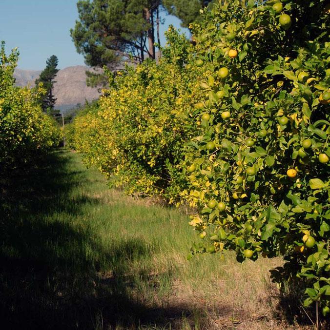 Lemon Grove, Moreson Franschhoek