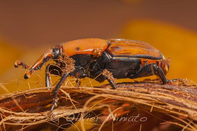 Rhynchophorus ferrugineus © Olivier Miniato