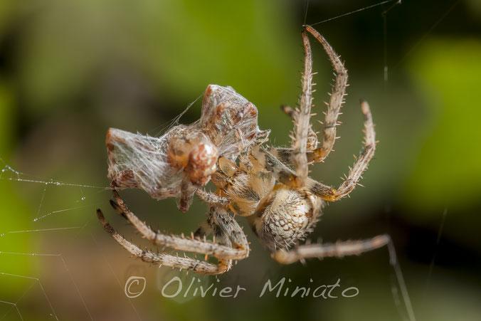 Araneus diadematus © Olivier Miniato