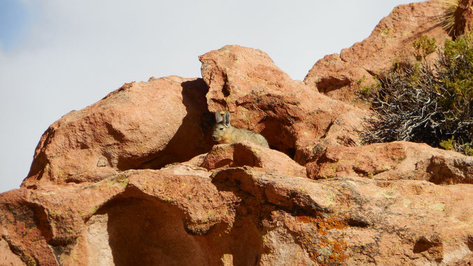 Wer findet das Viscacha?