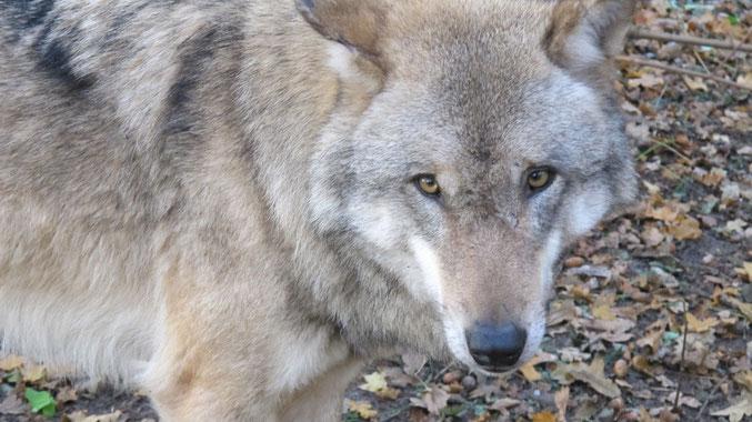 Janina Hoch 2, Wolf, Hundeschule Hamburg, Canis Seminar