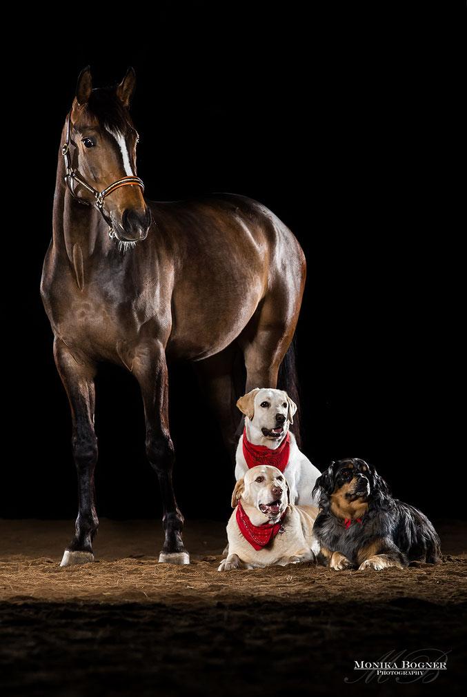 Pferde im Studio, vor schwarzem Hintergrund, Hunde im Studio