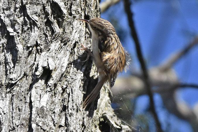 Short Toed Treecreeper
