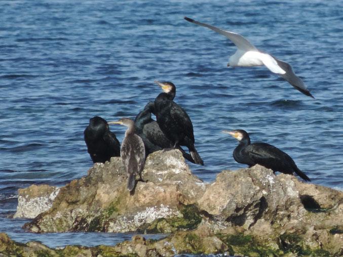 La colonia de cormoranes de les Rotes y el Cap de Sant Antoni es de las más importantes de la península