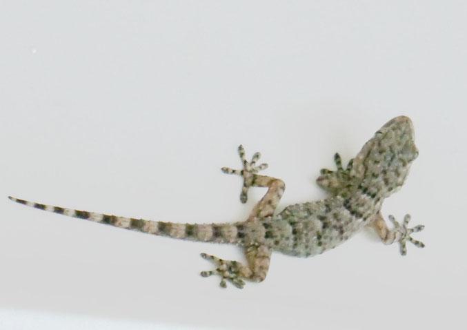 Le margouillat (ou gecko). Celui-ci a été retrouvé dans un bac à douches. Très petit (10 cm), il a rejoint le jardin avec plaisir après un petit coup de main. (Voir Gazette 91)