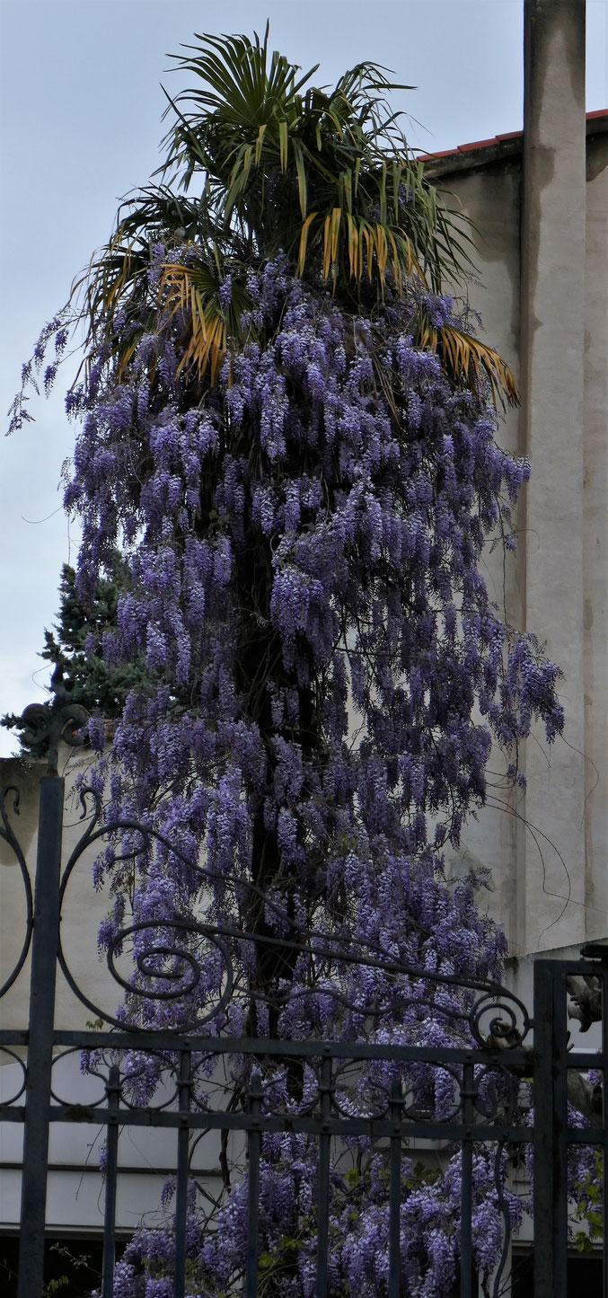 1er avril rue Godolin, un décor pour le carnaval : le palmier se déguise en glycine (ou l'inverse ?)