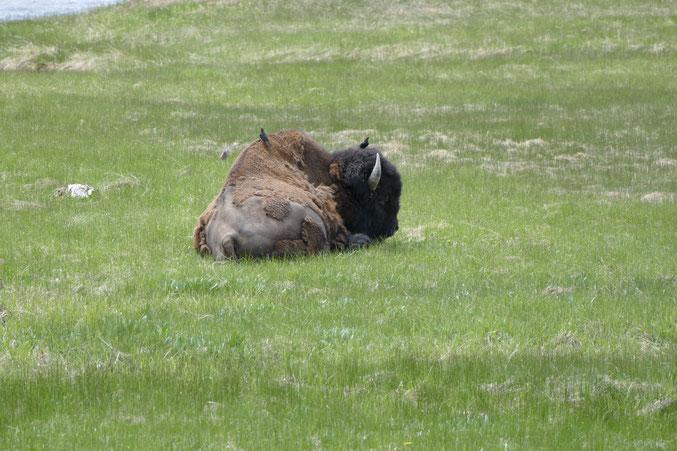 Präriebison (auch Büffel genannt) mit Vögel, vermutlich Putzervögel