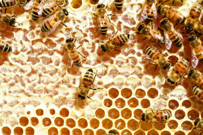 Bienen auf verdeckelten Honigwaben