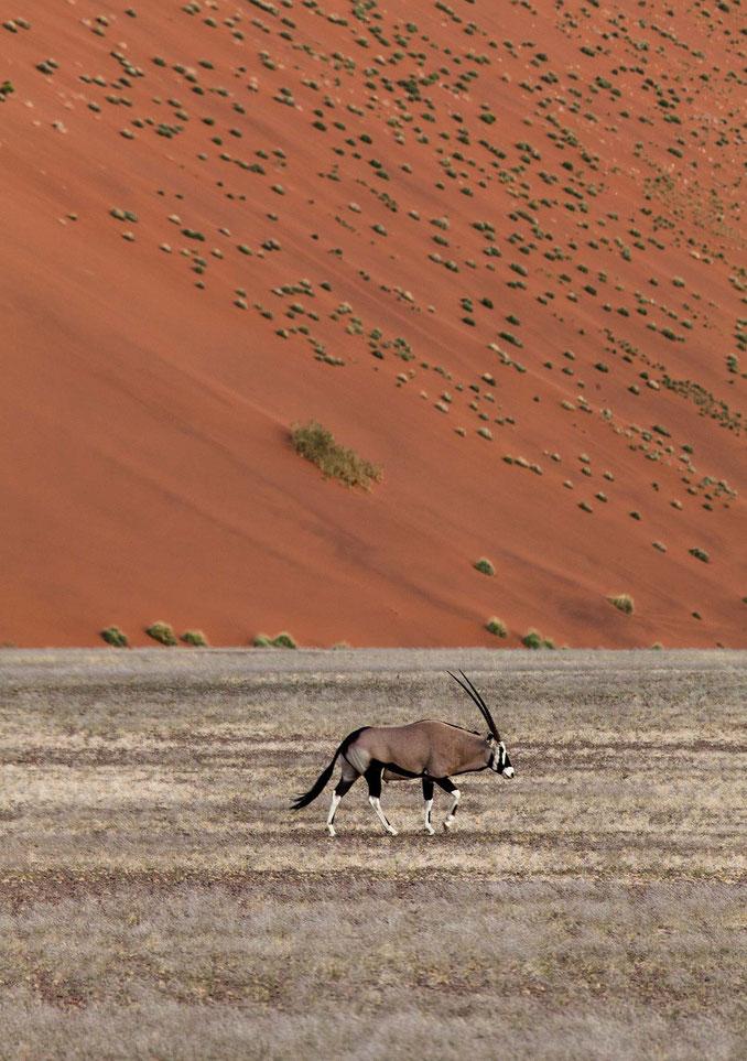 Oryx  antelope walking in Sossusvlei, Namib Desert with orange giant sand dunes in the back, Namib Naukluft Park, Namibia, 1282x1820px