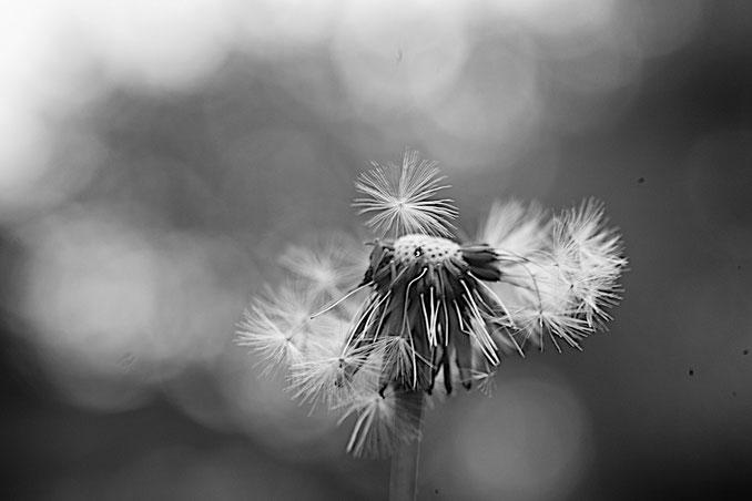 Foto einer Pusteblume, viele Samen schon weggeflogen