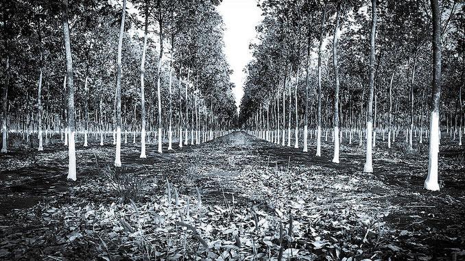 Plantaciones de caucho en Ratanakiri