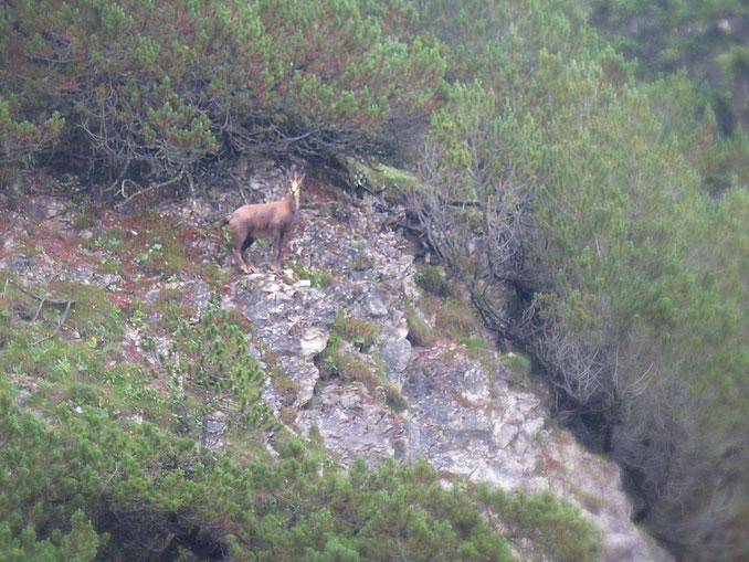 das gemeine Alpeneichhörnchen