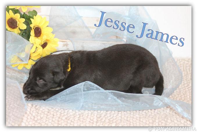 Scottish Deerhound Rüde, Welpe, abzugeben! Unser Jesse James sucht noch sein neues Zuhause! Deerhound-Barsoi Züchterin Nadja Koschwitz/Zuchtstätte von Alshamina in Bauler!