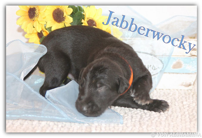 Scottish Deerhound Rüde, Welpe, abzugeben! UnserJabberwocky sucht noch sein neues Zuhause! Barsoi-Deerhound Züchterin Nadja Koschwitz/Zuchtstätte von Alshamina in Bauler!