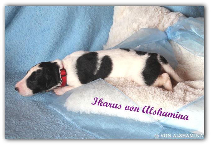 Barsoi Rüde, Welpe, abzugeben! Unser Ivanhoe sucht noch sein neues Zuhause! Barsoi-Deerhound Züchterin Nadja Koschwitz/Zuchtstätte von Alshamina in Bauler!