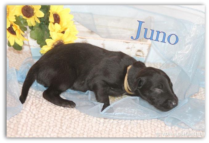 Deerhound Rüde, Welpe, abzugeben! Unser Jay-Jay sucht noch sein neues Zuhause! Barsoi-Deerhound Züchterin Nadja Koschwitz/Zuchtstätte von Alshamina in Bauler!
