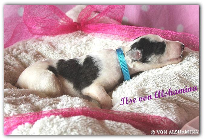 Barsoi Welpe - Hündin- abzugeben! Für unsere Ilse suchen wir noch ein liebevolles Zuhause! Barsoi-Deerhound Züchterin Nadja Koschwitz/Zuchtstätte von Alshamina in Bauler!