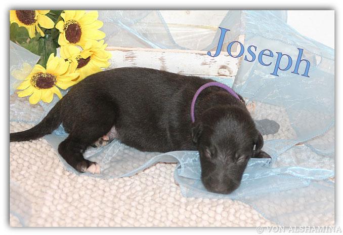 Deerhound Rüde, Welpe, abzugeben! Unser Joseph sucht noch sein neues Zuhause! Scottish Deerhound Züchterin Nadja Koschwitz/Zuchtstätte von Alshamina in Bauler!
