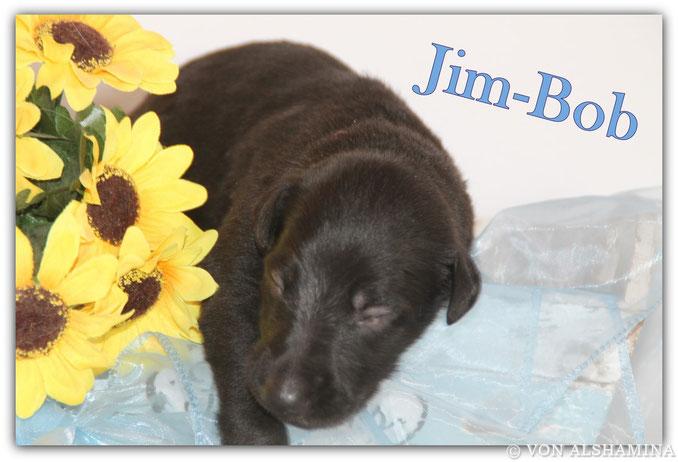 Deerhound Rüde, Welpe, abzugeben! Unser Jim-Bob sucht noch sein neues Zuhause! Barsoi-Deerhound Züchterin Nadja Koschwitz/Zuchtstätte von Alshamina in Bauler!
