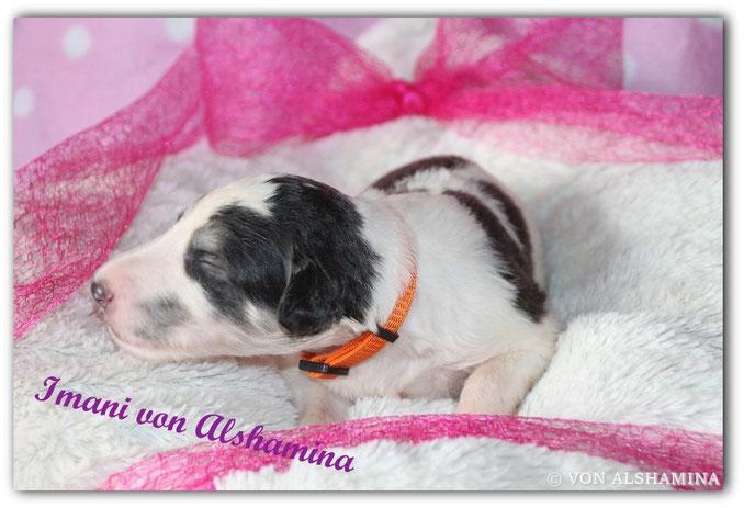 Barsoi Welpe, Hündin abzugeben! Unsere Imani sucht noch ein neues, liebevolles Zuhause! Barsoi-Deerhound Züchterin Nadja Koschwitz/Zuchtstätte von Alshamina in Bauler!
